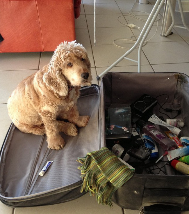 photo un chien assis sur la valise de son ma tre. Black Bedroom Furniture Sets. Home Design Ideas